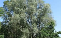 A photo of White Willow