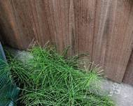 A photo of Horsetail
