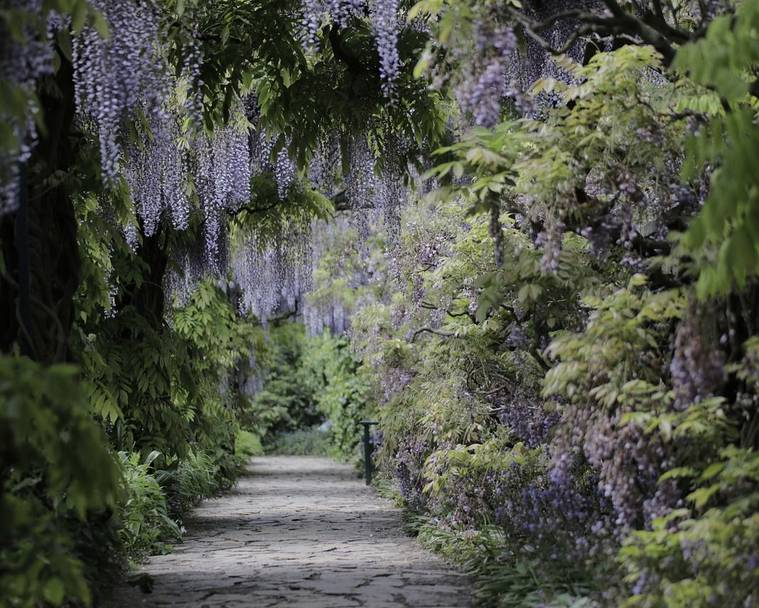 Wisteria growing over and an empty path