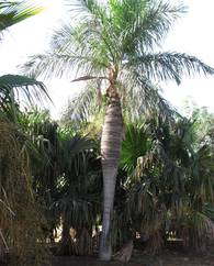 A photo of Cuban Belly Palm