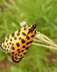 A photo of Leopard Magpie Moth