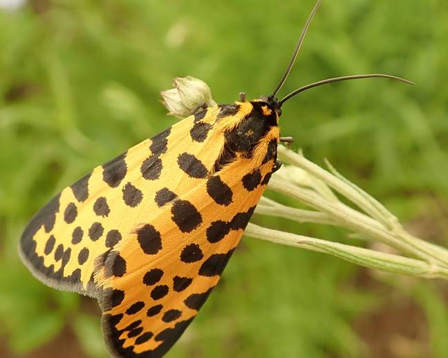 A close up image of a Zerenopsis leopardina leopard magpie moth on a piece of grass