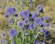 Echinops ruthenicus (in habitat) 5