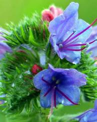 A photo of Viper's Bugloss