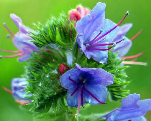 A picture of a Viper's Bugloss