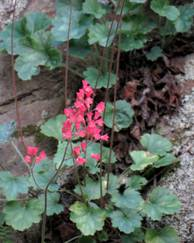 A photo of Coral Bells