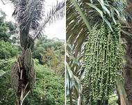 Arenga pinnata, the Sugar Palm (14229842519)