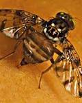 A photo of Natal Fruit Fly