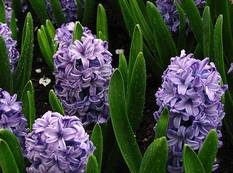 Some Hyacinthus orientalis 'Delft Blue' with green leaves and blue purple flowers