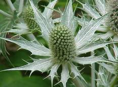 A close up of a white Eryngium giganteum flower on a plant