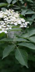 A photo of Elderberry