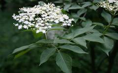 A photo of Common Elder