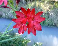 A photo of Scarlet River Lily