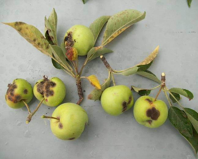 A close up of some green apple fruits infected with Apple Scab Venturia inaequalis