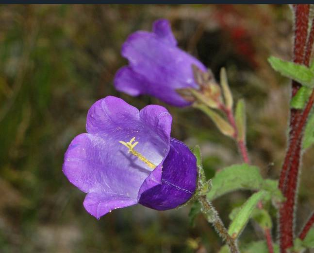 A close up of some purple Campanula medium flowers on a plant