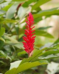 A photo of Red Ginger
