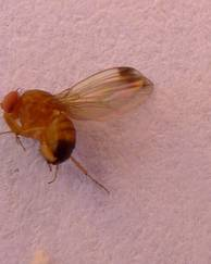 A photo of Cherry Fruit Fly