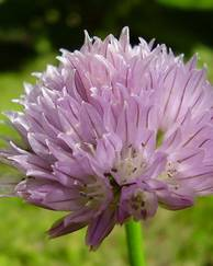 A photo of Chives