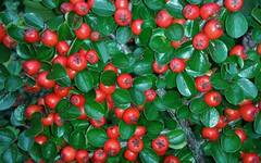A photo of Herringbone Cotoneaster