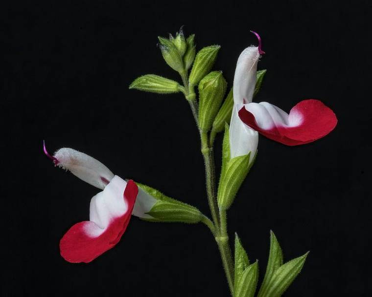 Salvia hot lips flowers on a black background