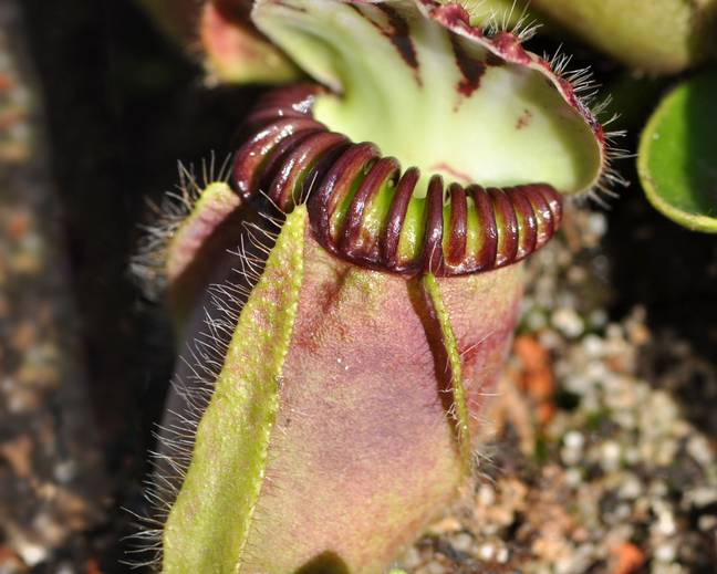 A close up of a Cephalotus follicularis pitcher