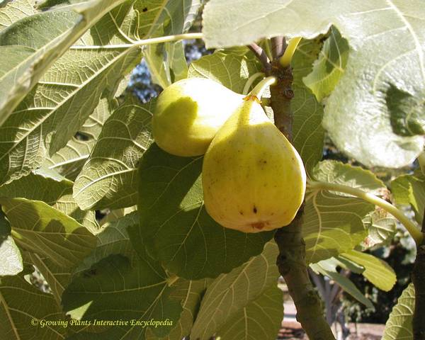 A picture of a Fig