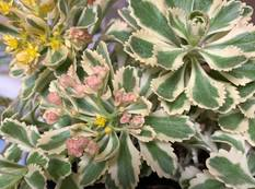 A close up of some Sedum takesimense 'Atlantis' flowers and variegated leaves