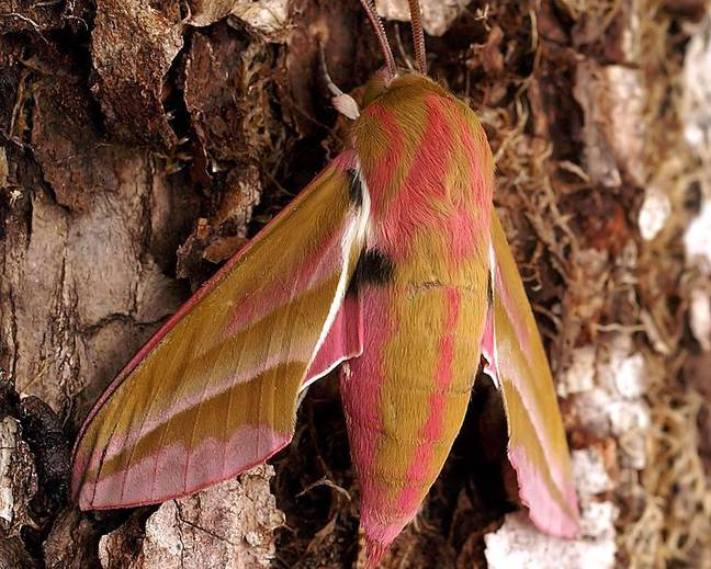 A close up image of an elephant hawkmoth insect Deilephila elpenor resting on tree bark