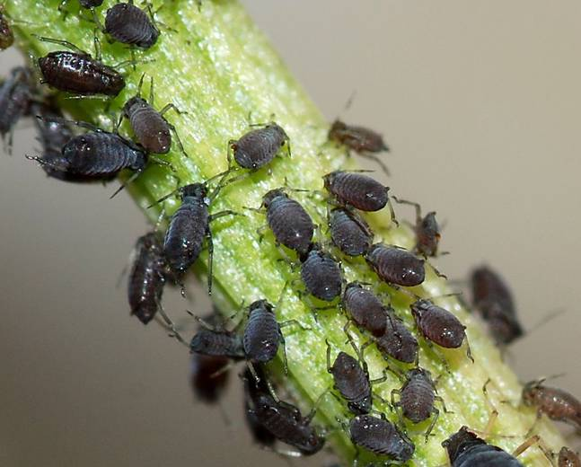 A load of black aphids on a plant stem
