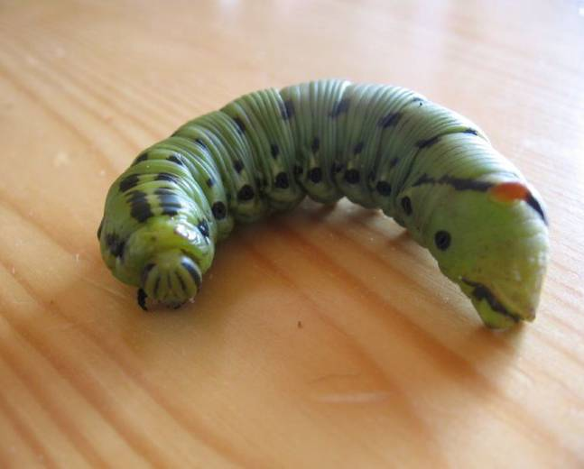 A close up picture of a green Convolvulus Hawkmoth Agrius convolvuli larvae on a wooden surface