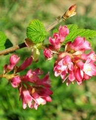 A photo of Flowering Currant