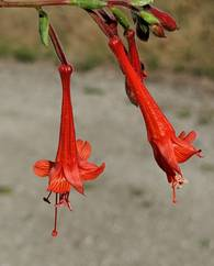 A photo of Californian Fuchsia