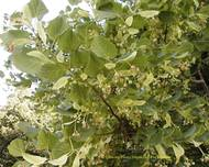 A photo of Large-Leaved Lime
