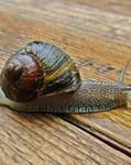 A photo of Garden Snail