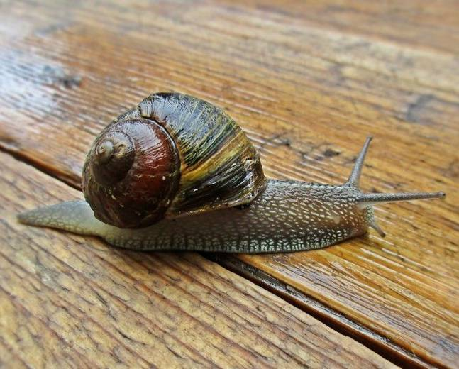 A Cornu aspersum common garden snail on a wooden surface