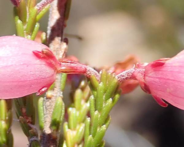 A picture of a Erica recta