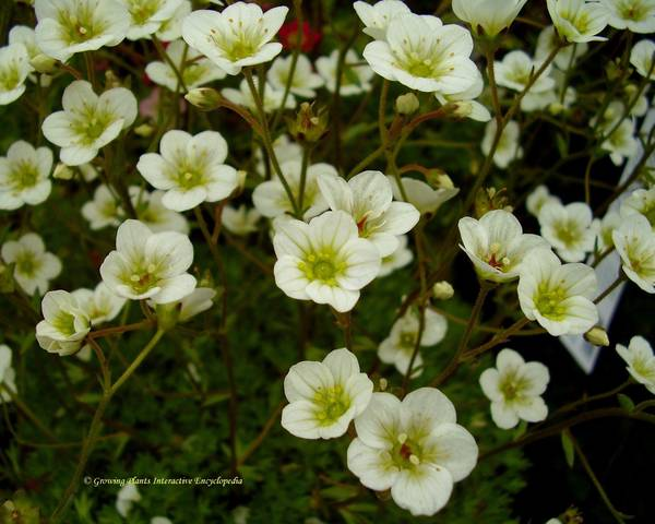 A picture of a Saxifrage