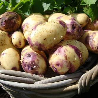 Potato Tubers. Main Crop. KESTREL