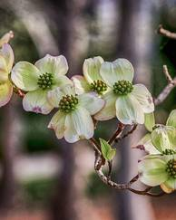 A photo of Flowering Dogwood