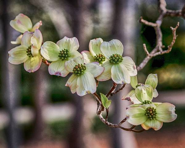 A picture of a Flowering Dogwood