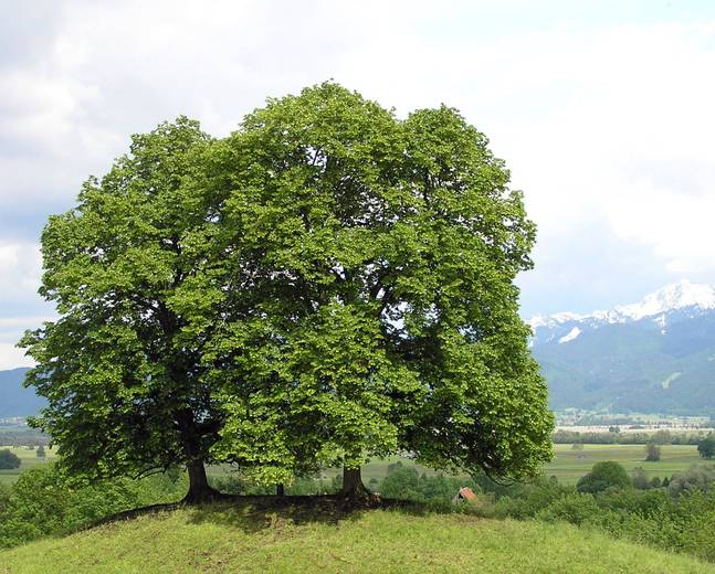 A large Tilia cordata tree in a field