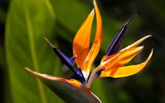 A photo of Bird Of Paradise