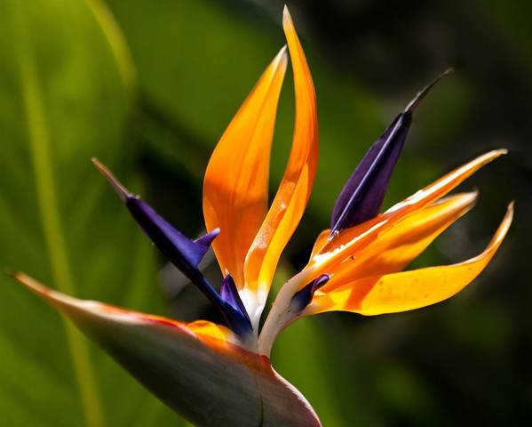 A picture of a Bird Of Paradise