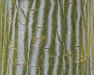 A photo of Snake Bark Maple