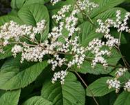 0 Rodgersia aesculifolia