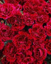 A photo of Border Carnation 'Odessa'