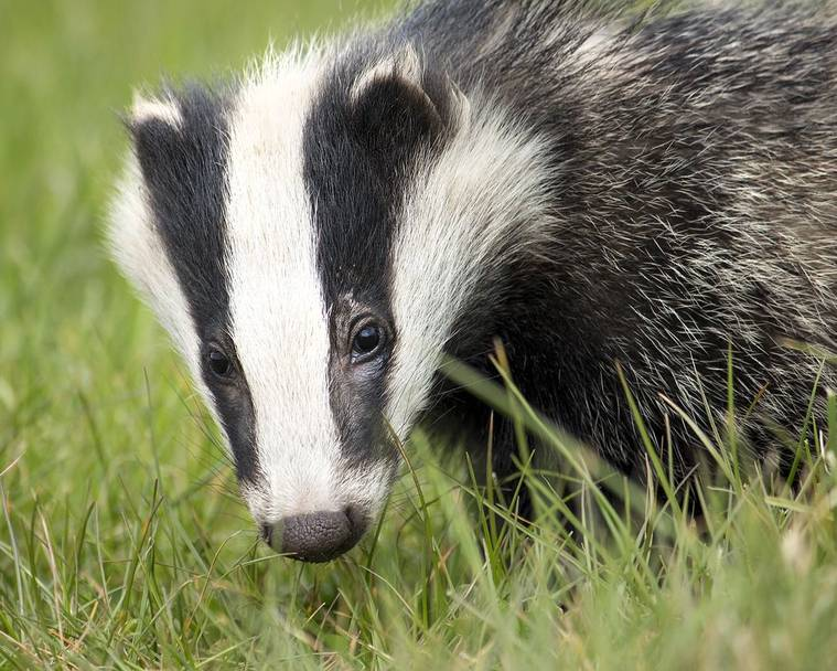 A badger standing on a garden lawn