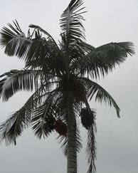 A photo of Quindio Wax Palm