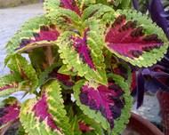 A photo of Flame Nettle