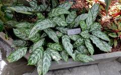 A photo of Chinese Evergreen